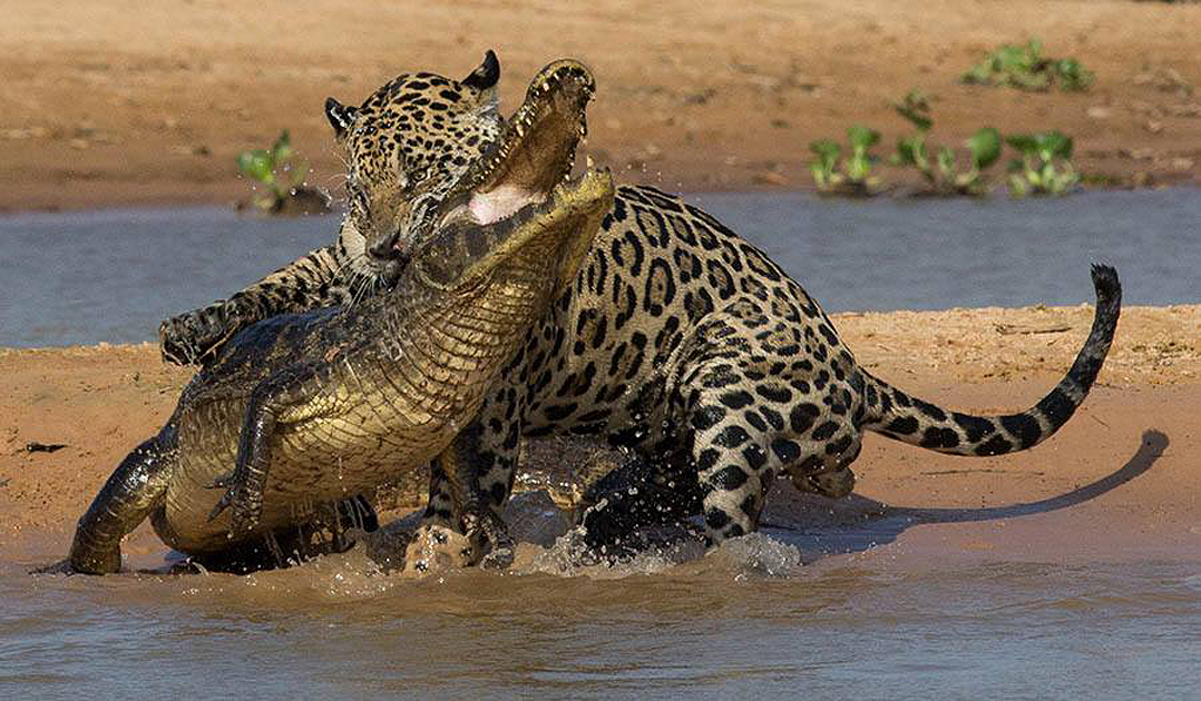 What Do Jaguars Eat >> Jaguars of Brazil's Pantanal: Wildlife Photography Tours & Safaris