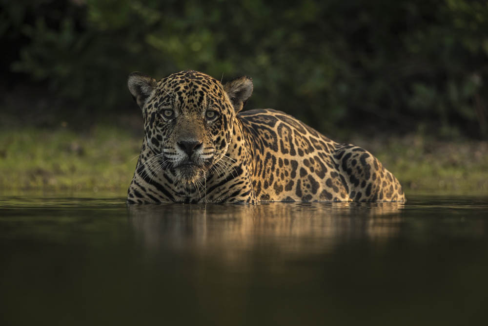 jaguars of brazil s pantanal wildlife photography tours safaris. Black Bedroom Furniture Sets. Home Design Ideas
