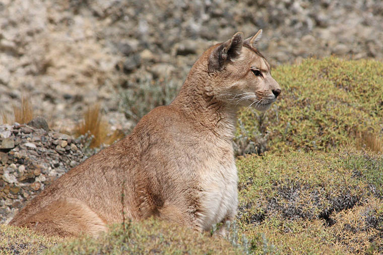 pumas, torres del paine, wildlife, photography, tours, chile